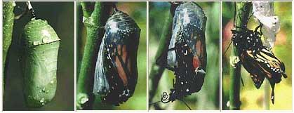 صور دورة حياة الفراشة