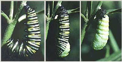 بالصور دورة حياة الفراشة 20160807 265