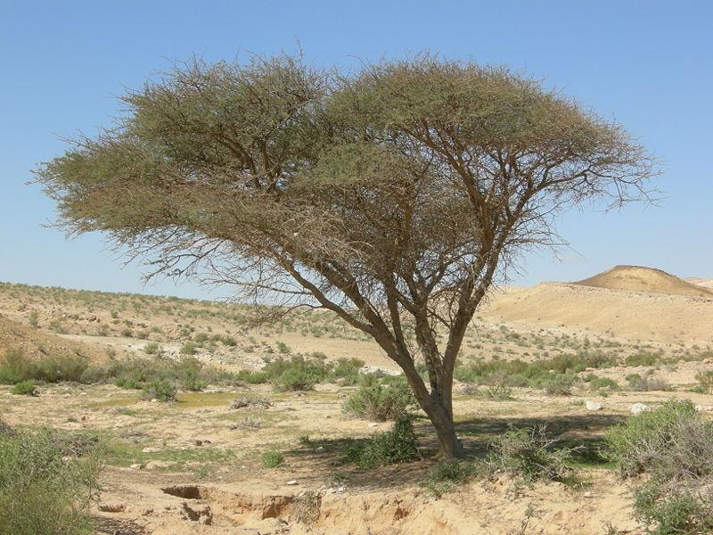 بالصور فوائد ثمار شجرة السنط 20160814 316