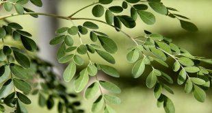 صور فوائد شجرة المورينجا للجنس