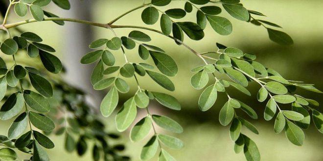 بالصور فوائد شجرة المورينجا للجنس 20160807 1415 660x330