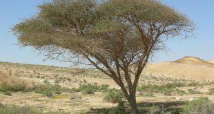 صورة فوائد ثمار شجرة السنط