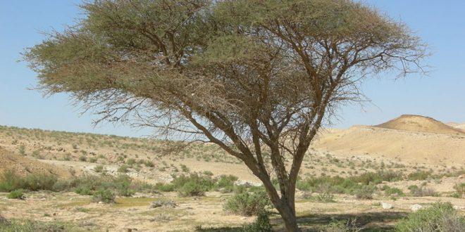 بالصور فوائد ثمار شجرة السنط 20160814 316 660x330