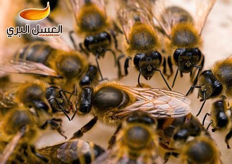 صور البحث عن ملكة النحل في الخلية