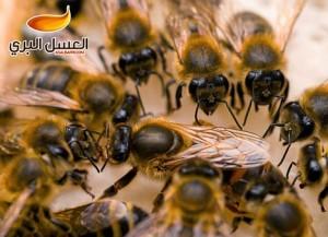 بالصور البحث عن ملكة النحل في الخلية 20160907 1361