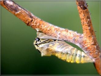 صور مراحل نمو افراشة