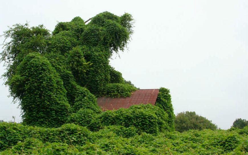 صور نبات الكودزو