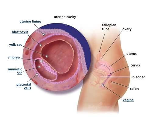 بالصور مراحل تكوين الجنين بالصور 20160907 943