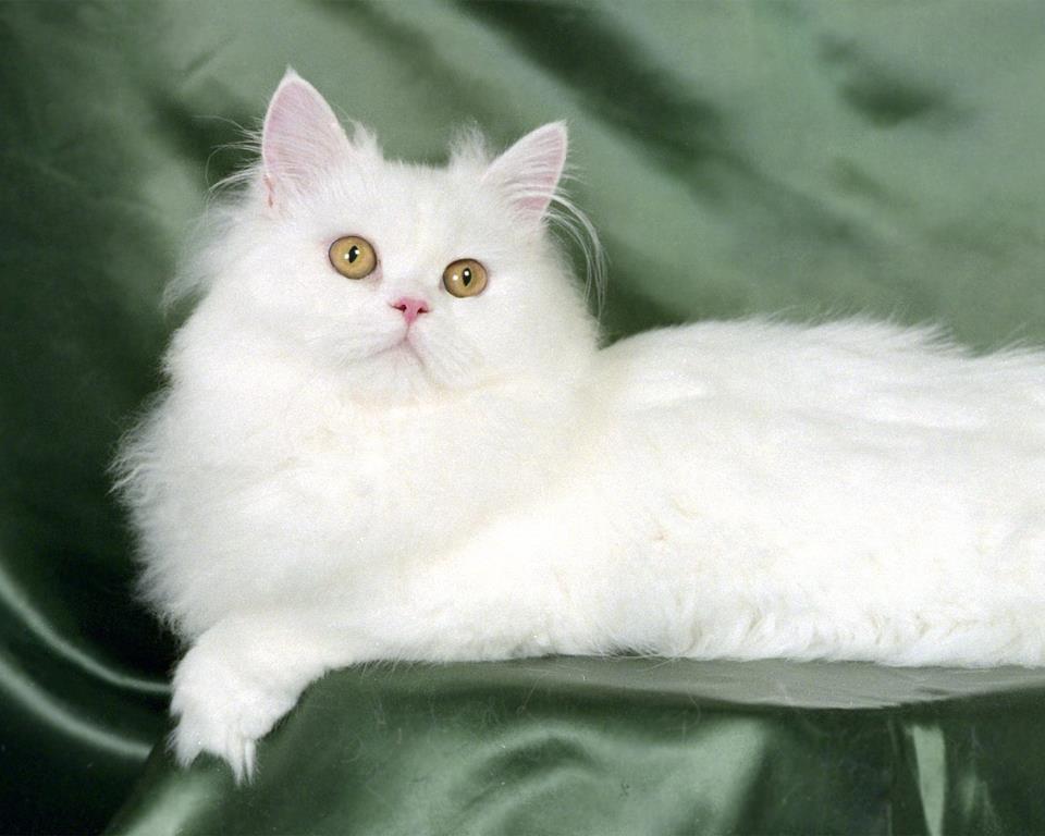 بالصور ماهي اسعار القطط الشيرازى اليوم 20160908 1922