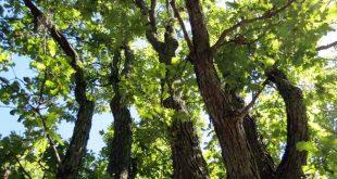 شجرة البلوط في فصل الصيف