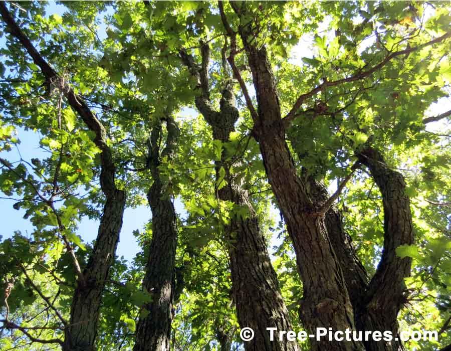 بالصور شجرة البلوط في فصل الصيف 20160908 2325