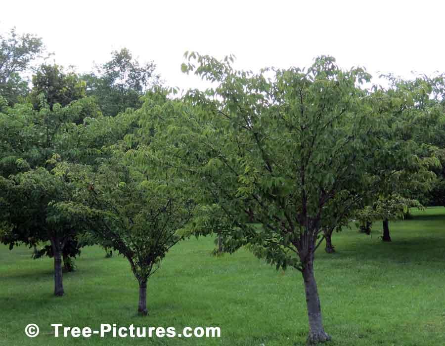 بالصور شجرة البلوط في فصل الصيف 20160908 2327