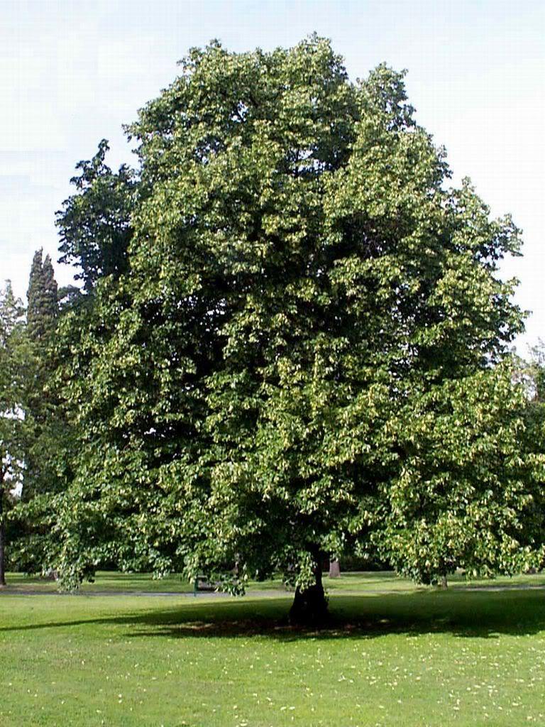 بالصور شجرة البلوط في فصل الصيف 20160908 2328