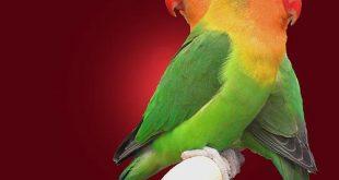صور عصافير الحب