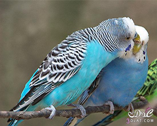 صور صور عصافير الحب