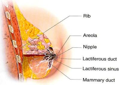 بالصور افضل علاج لتكبير الثدي 20160910 1204