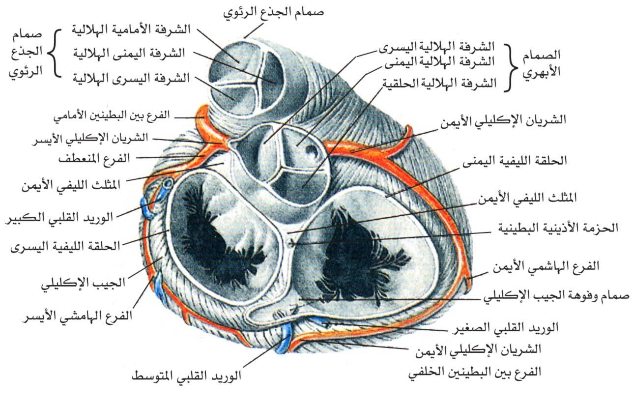 ما هي صمامات القلب الأربع و ما وظيفة كل منها 20160913-3306