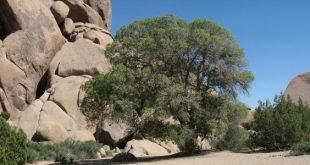 فصل شجرة البلوط