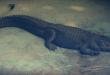 بالصور تفسير ضرب التمساح في المنام 20160917 498 1 110x75
