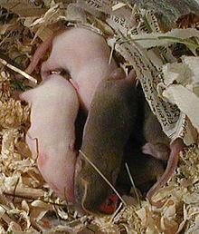 صور الفرق بين ذكر وانثى الفئران
