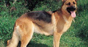 صور صور اكبر كلاب جيرمن