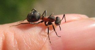 صور فوائد قرص النمل للانسان