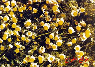 صور الكاموميل بالمغربية زهرة البابونج