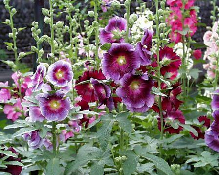 صور صور لنبات الختمية