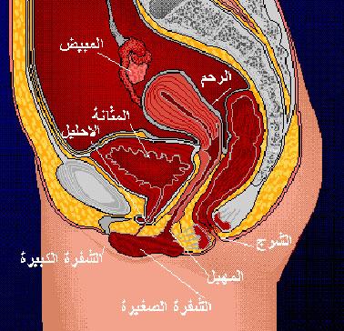 صور شكل الرحم من الداخل