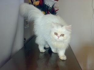 صور قطط شيرازي للبيع