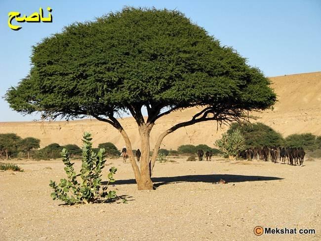 صور البيعة تحت الشجرة